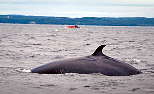 More than 10,000 excursions take place annually in the Saint Lawrence Estuary. (Photo: Laurent Silvani)
